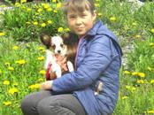 Собаки, щенки Папильон, цена 50 000 рублей, Фото