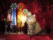 Кошки, котята Сибирская, цена 10 рублей, Фото