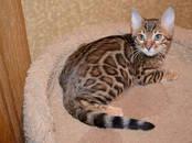 Кошки, котята Бенгальская, цена 75 000 рублей, Фото