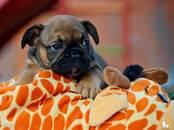 Собаки, щенки Французский бульдог, цена 35 000 рублей, Фото