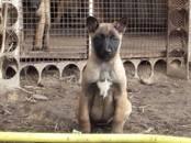 Собаки, щенки Бельгийская овчарка (Малинуа), цена 15 000 рублей, Фото