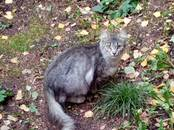 Кошки, котята Сейшельская длинношерстная, цена 10 рублей, Фото