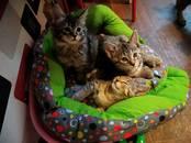 Кошки, котята Пиксибоб, цена 10 рублей, Фото