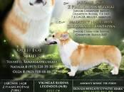Собаки, щенки Вельш корги пемброк, Фото