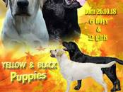 Собаки, щенки Лабрадор ретривер, цена 30 000 рублей, Фото