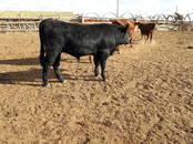 Животноводство,  Сельхоз животные Крупно-рогатый скот, цена 5 рублей, Фото