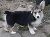 Собаки, щенки Вельш корги пемброк, цена 42 000 рублей, Фото