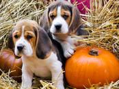 Собаки, щенки Бигль, цена 20 000 рублей, Фото
