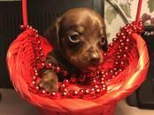 Собаки, щенки Гладкошерстная кроличья такса, цена 25 000 рублей, Фото