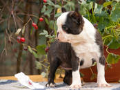 Собаки, щенки Бостонтерьер, цена 55 000 рублей, Фото