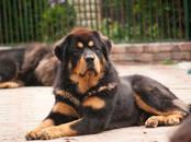 Собаки, щенки Тибетский мастиф, цена 50 000 рублей, Фото