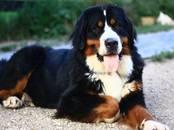 Собаки, щенки Большой Швейцарский зенненхунд, цена 35 000 рублей, Фото