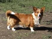 Собаки, щенки Вельш корги кардиган, цена 40 000 рублей, Фото