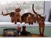 Кошки, котята Абиссинская, цена 35 000 рублей, Фото