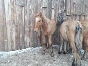 Животноводство,  Сельхоз животные Лошади, ослы, др., цена 28 000 рублей, Фото