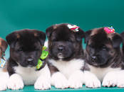 Собаки, щенки Американский акита, цена 60 000 рублей, Фото