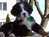 Собаки, щенки Бернская горная собака, цена 20 000 рублей, Фото
