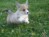 Собаки, щенки Вельш корги пемброк, цена 70 000 рублей, Фото