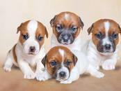 Собаки, щенки Джек Рассел терьер, цена 40 000 рублей, Фото