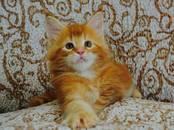 Кошки, котята Мэйн-кун, цена 10 000 рублей, Фото