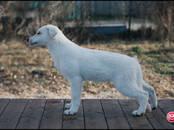 Собаки, щенки Белая Швейцарская овчарка, цена 20 000 рублей, Фото