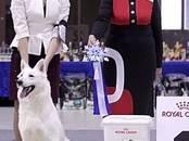 Собаки, щенки Белая Швейцарская овчарка, цена 35 000 рублей, Фото