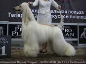 Собаки, щенки Афганская борзая, цена 50 000 рублей, Фото