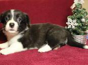 Собаки, щенки Вельш корги кардиган, цена 45 000 рублей, Фото