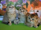 Кошки, котята Шотландская вислоухая, цена 15 000 рублей, Фото