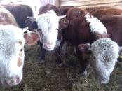 Животноводство,  Сельхоз животные Крупно-рогатый скот, цена 33 000 рублей, Фото