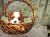 Собаки, щенки Кавалер-Кинг-Чарльз спаниель, цена 70 000 рублей, Фото