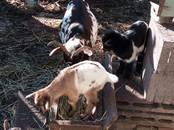 Животноводство,  Сельхоз животные Козы, цена 25 000 рублей, Фото