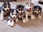 Собаки, щенки Сибирский хаски, цена 8 000 рублей, Фото