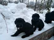 Собаки, щенки Ризеншнауцер, цена 300 y.e., Фото