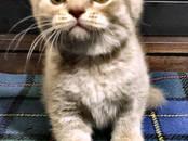 Кошки, котята Шотландская вислоухая, цена 12 000 рублей, Фото