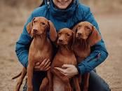 Собаки, щенки Венгерская выжла, цена 45 000 рублей, Фото