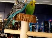 Попугаи и птицы Попугаи, цена 1 500 рублей, Фото