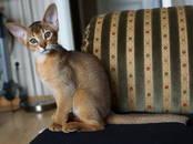 Кошки, котята Абиссинская, цена 25 000 рублей, Фото