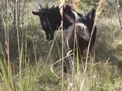 Животноводство,  Сельхоз животные Козы, цена 3 000 рублей, Фото