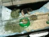 Грызуны Морские свинки, цена 2 000 рублей, Фото