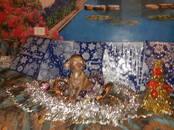 Собаки, щенки Чихуа-хуа, цена 30 000 рублей, Фото