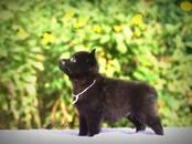 Собаки, щенки Немецкая овчарка, цена 25 000 рублей, Фото