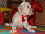 Собаки, щенки Английский сеттер, цена 85 000 рублей, Фото