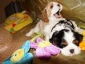 Собаки, щенки Кавалер-Кинг-Чарльз спаниель, цена 50 000 рублей, Фото