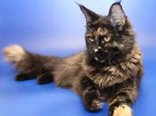 Кошки, котята Мэйн-кун, цена 35 000 рублей, Фото