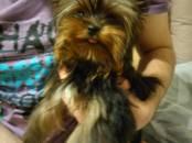 Собаки, щенки Йоркширский терьер, цена 13 000 рублей, Фото