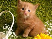Кошки, котята Мэйн-кун, цена 40 000 рублей, Фото