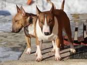 Собаки, щенки Миниатюрный бультерьер, цена 25 000 рублей, Фото