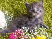 Кошки, котята Мэйн-кун, цена 25 000 рублей, Фото