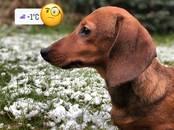 Собаки, щенки Гладкошерстная кроличья такса, цена 20 000 рублей, Фото
